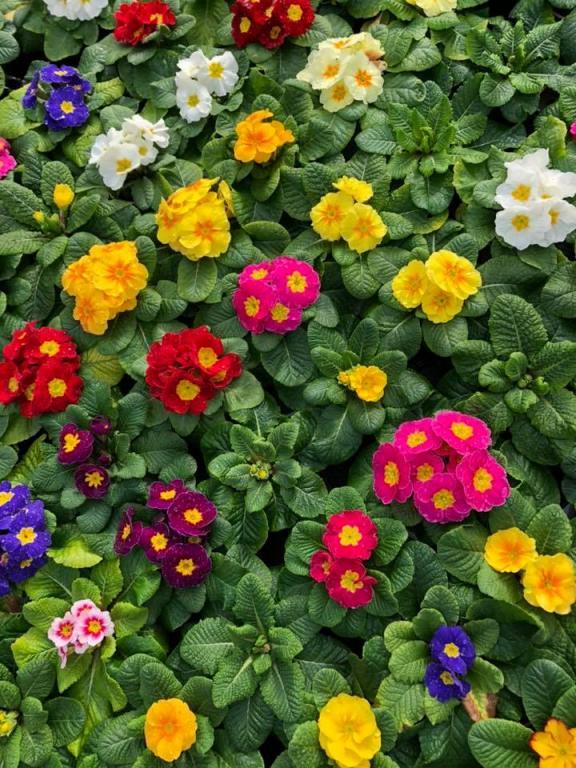 primevère des jardins