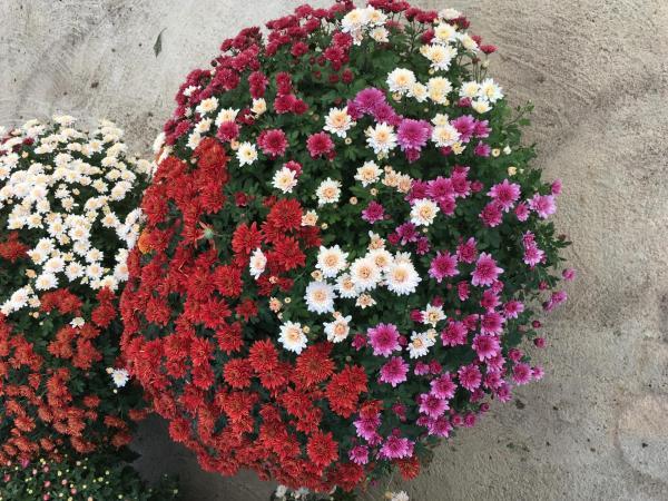 Chrysanthème spécimen